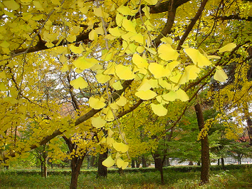 Golden_leaves