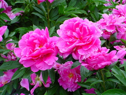 Roses2009523_001_2