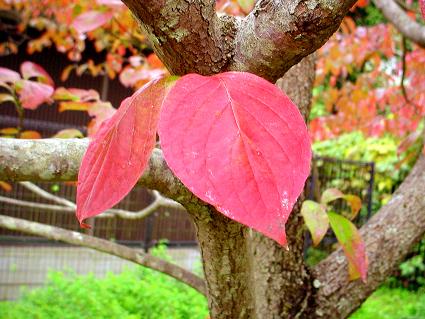 Hanamizuki_leaves