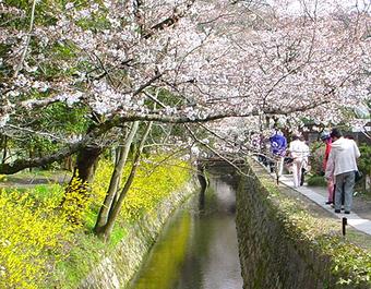 Sakuramichi3