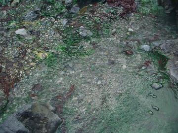 Bluegreenalgae