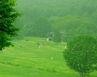 Cows_in_green