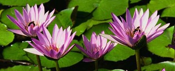 waterlilies2.jpg
